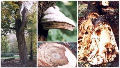 Carie del legno su ippocastano (www.servizi.comune.parma.it)