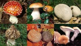 Schede dei funghi