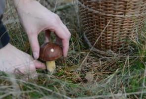 metodo di raccolta dei funghi